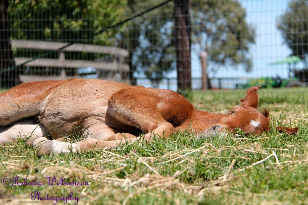Foal Sleeping Pic.jpg