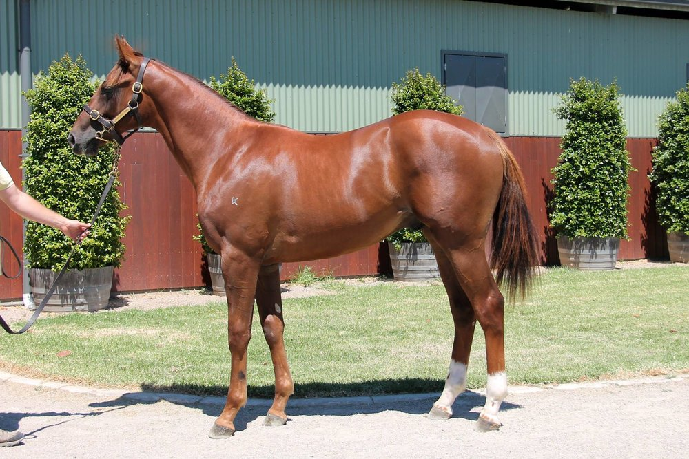LOT 591  SIRE: Husson  DAM: Predestined  Chestnut Colt  PURCHASER: Mark Newnham Racing NSW  PRICE: $50,000.00