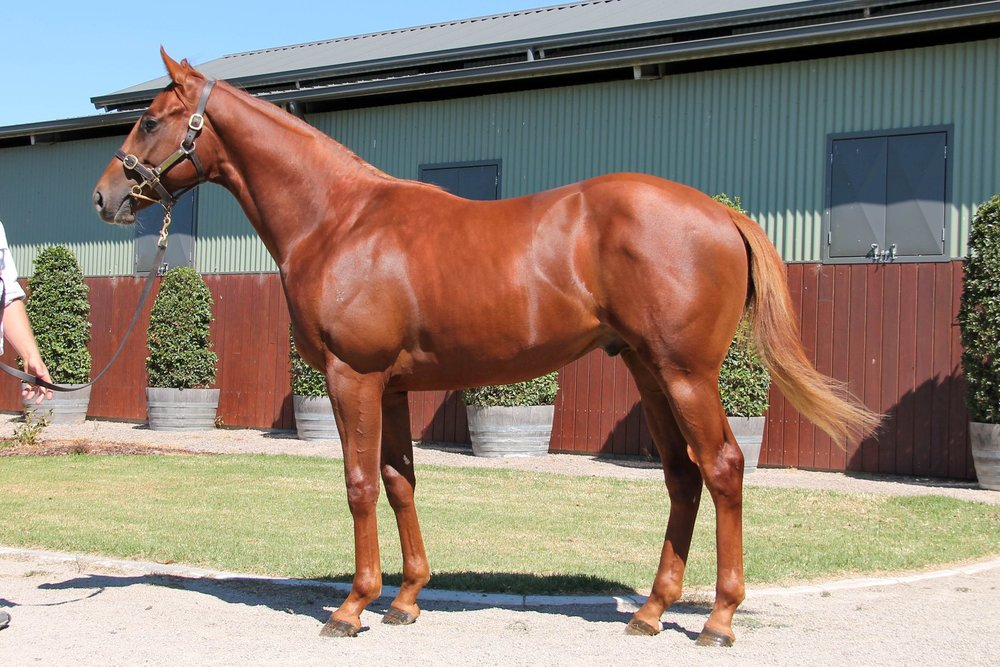 LOT 414  SIRE: Toronado  DAM: Happy Empress  Chestnut Colt  PURCHASER: Craig Carmody Racing Stables NSW  PRICE: $150,000.00
