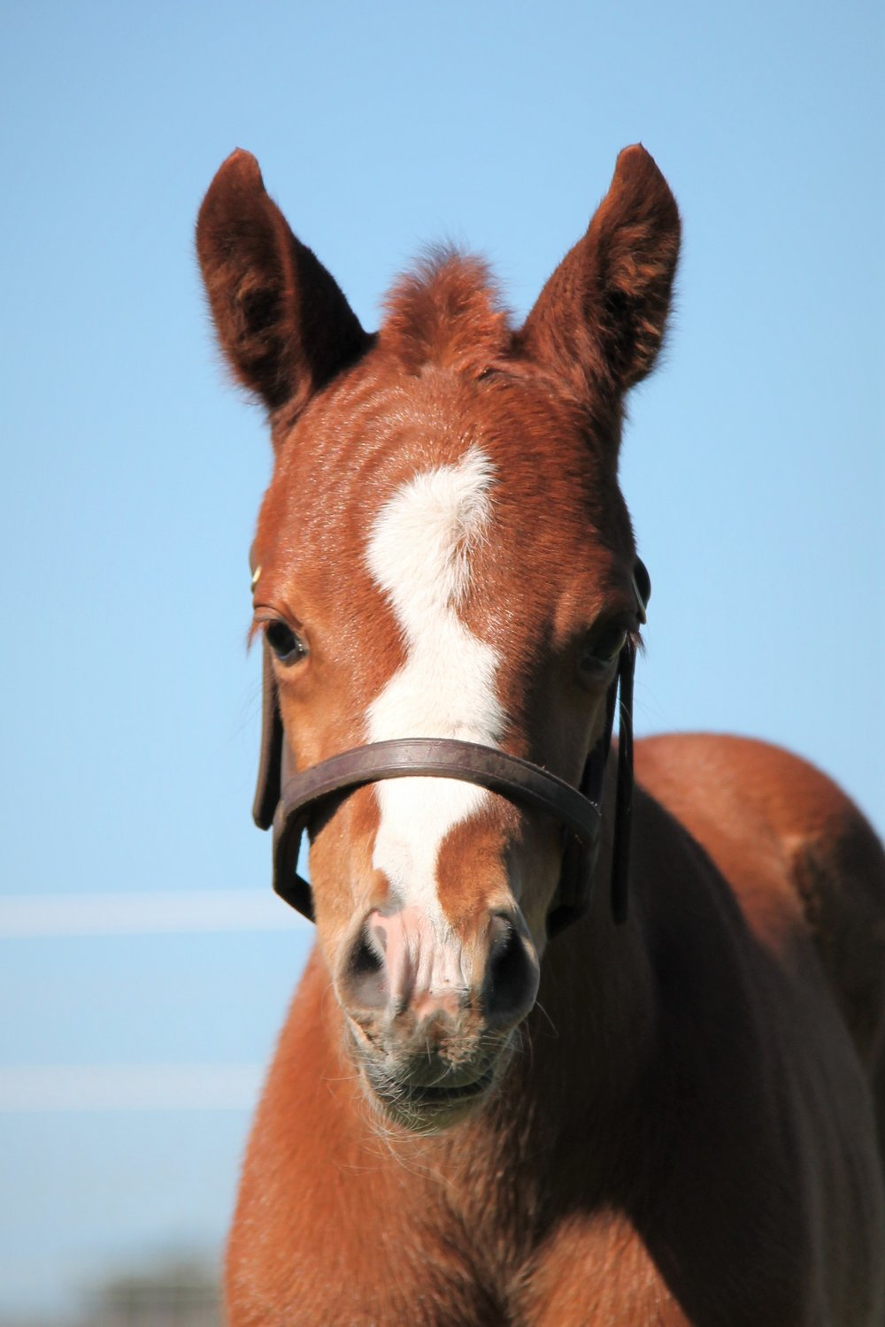 Daisy (Dissident x Grand Excess Filly)