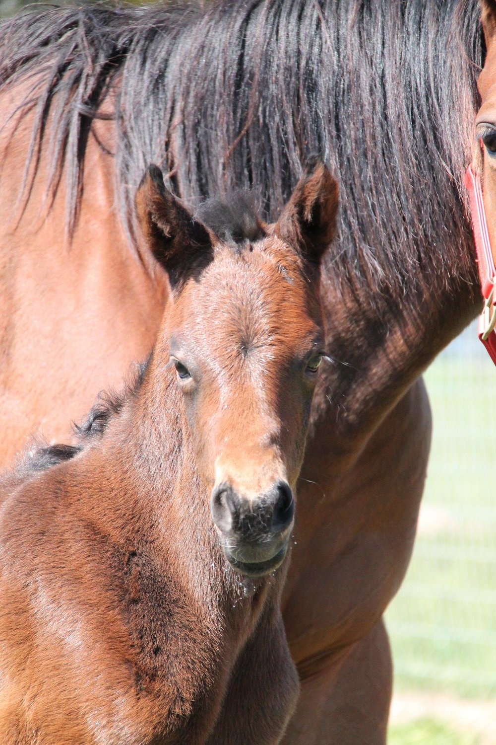 Sven (So You Think x Bellissima Miss Colt)