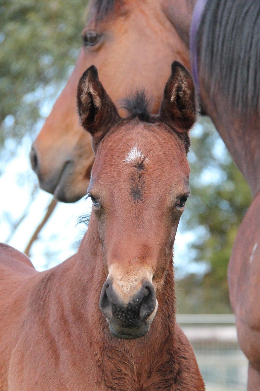 Harry (Hinchinbrook x If I Can I Can (NZ) colt)
