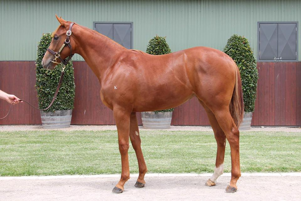 Lot 399 Sebring x Bellissima Miss (NZ) 17 Filly - Sold for $130,000 to Busuttin Racing