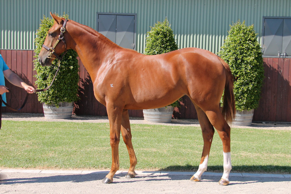 Lot 885 Nicconi x Hemingway Rules 17 Filly