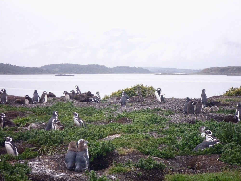 Penguins Ushuaia Paragonia Argentina Isla Yecapasela