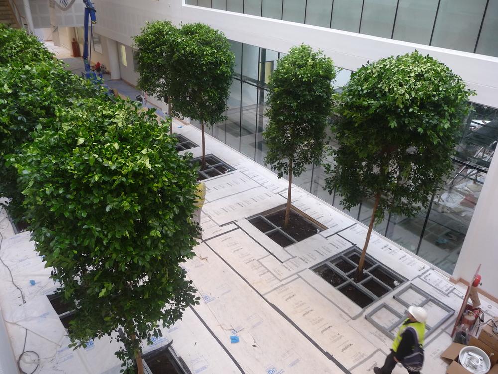 bristol-royal-infirmary-hospital-plantcare-interior-plants-trees-bristol-image-5