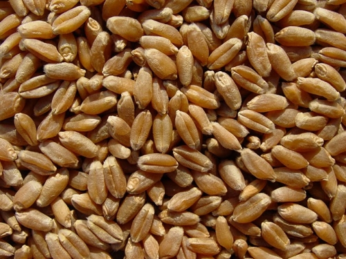 WHEAT SEEDS (OR KERNELS OR BERRIES)