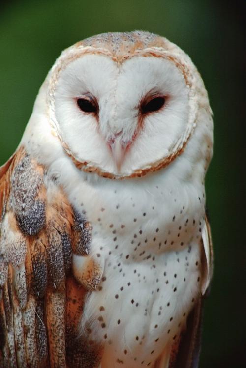wildlife_barn_owl.jpg