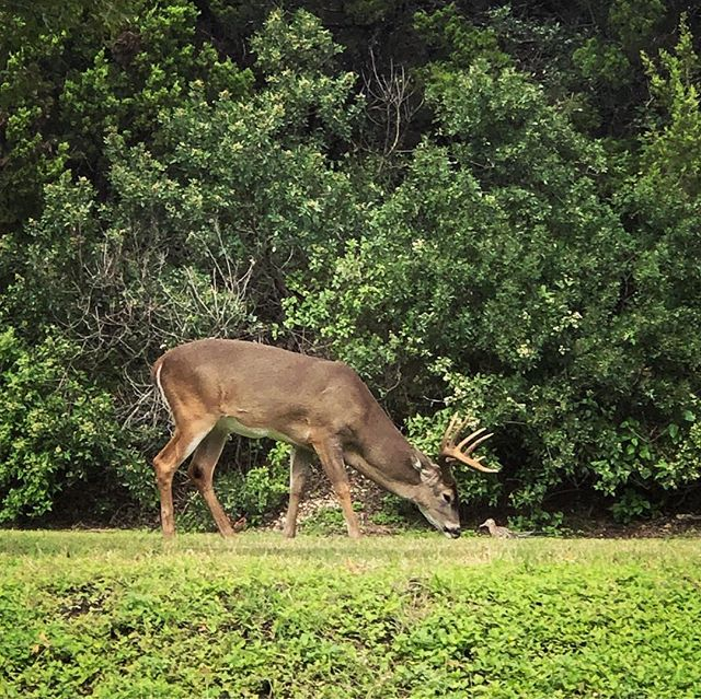 Got treated to a brief visit from this beautiful buck and it's trusty sidekick, the roadrunner! We're very lucky and grateful to have our gym surrounded by nature 🦌🌳