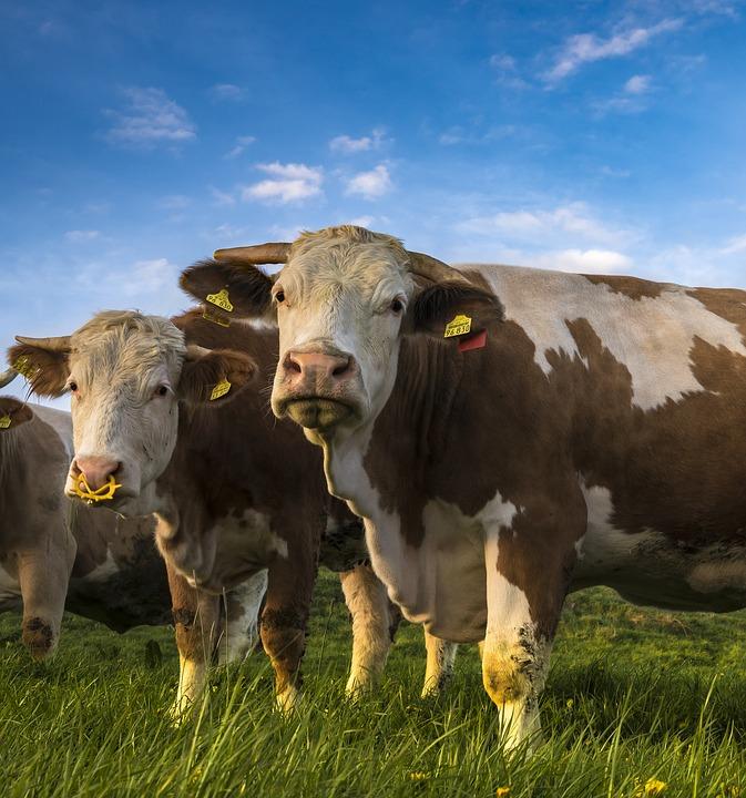 cows-2257738_960_720.jpg