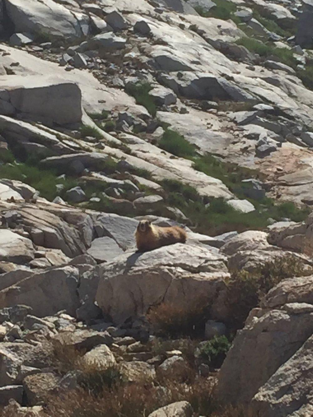 Speaking of marmots...