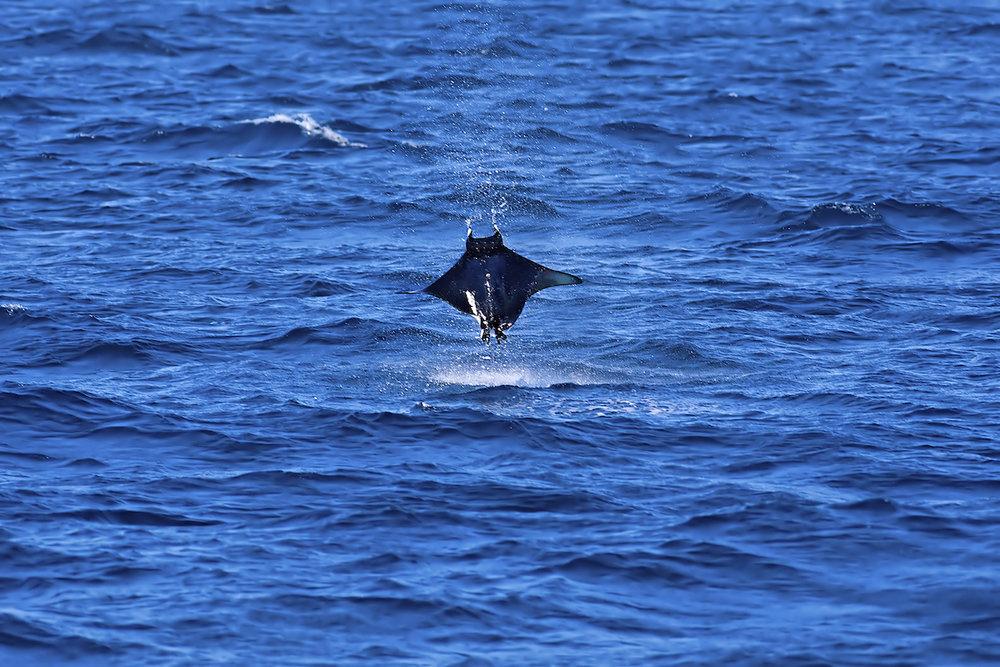 bigstock-Manta-ray-jumping-25823618.jpg
