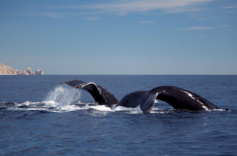 bigstock-Two-Humpback-Whale-Flukes-4905611.jpg