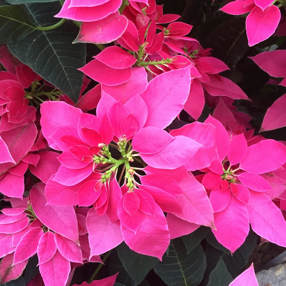 Poinsettia 'Luv U Pink'