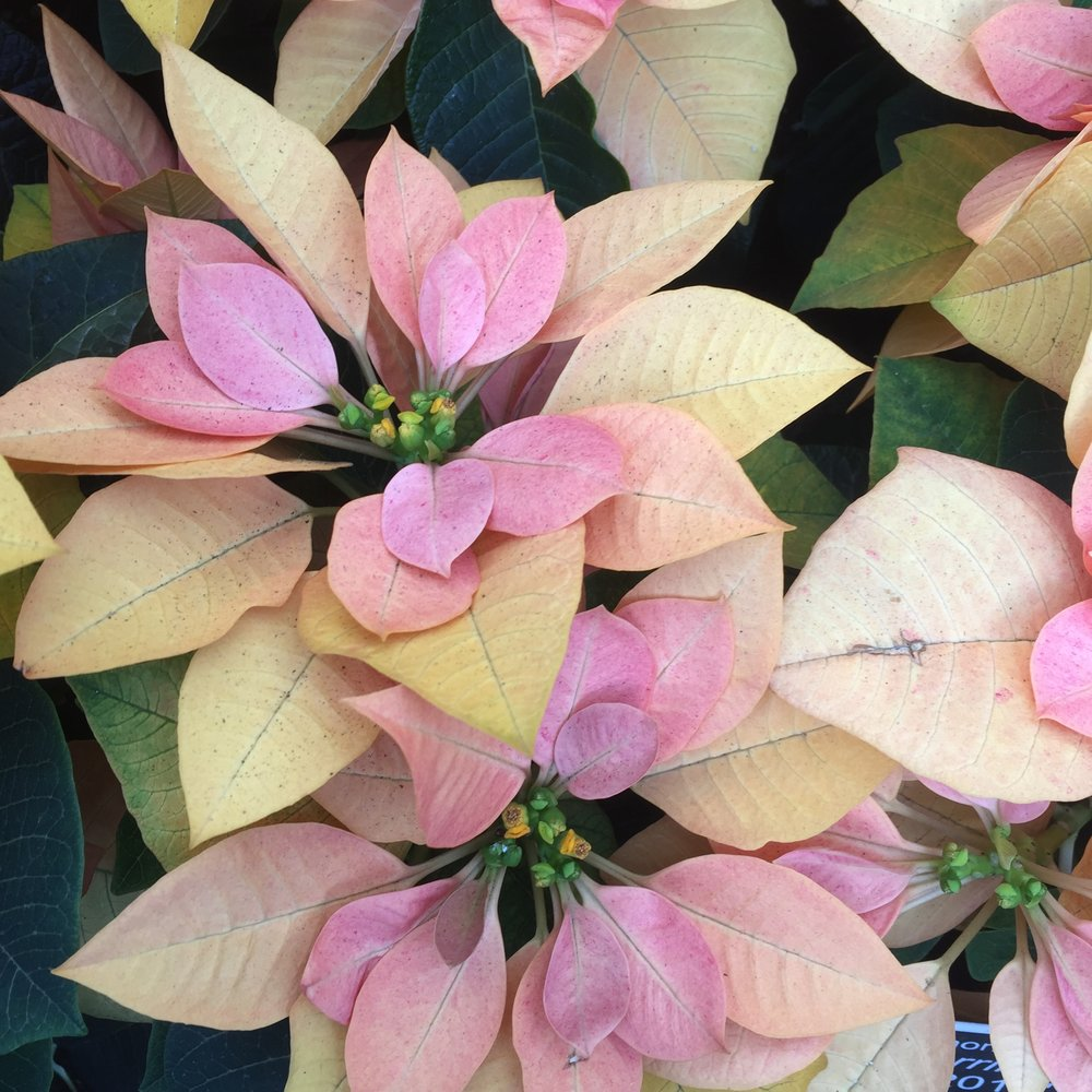 Poinsettia 'Autumn Leaves'