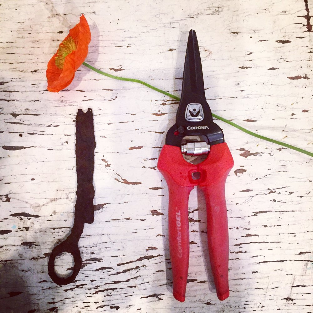 "The old and the new. I found these ""vintage"" scissors in the dahlia patch."
