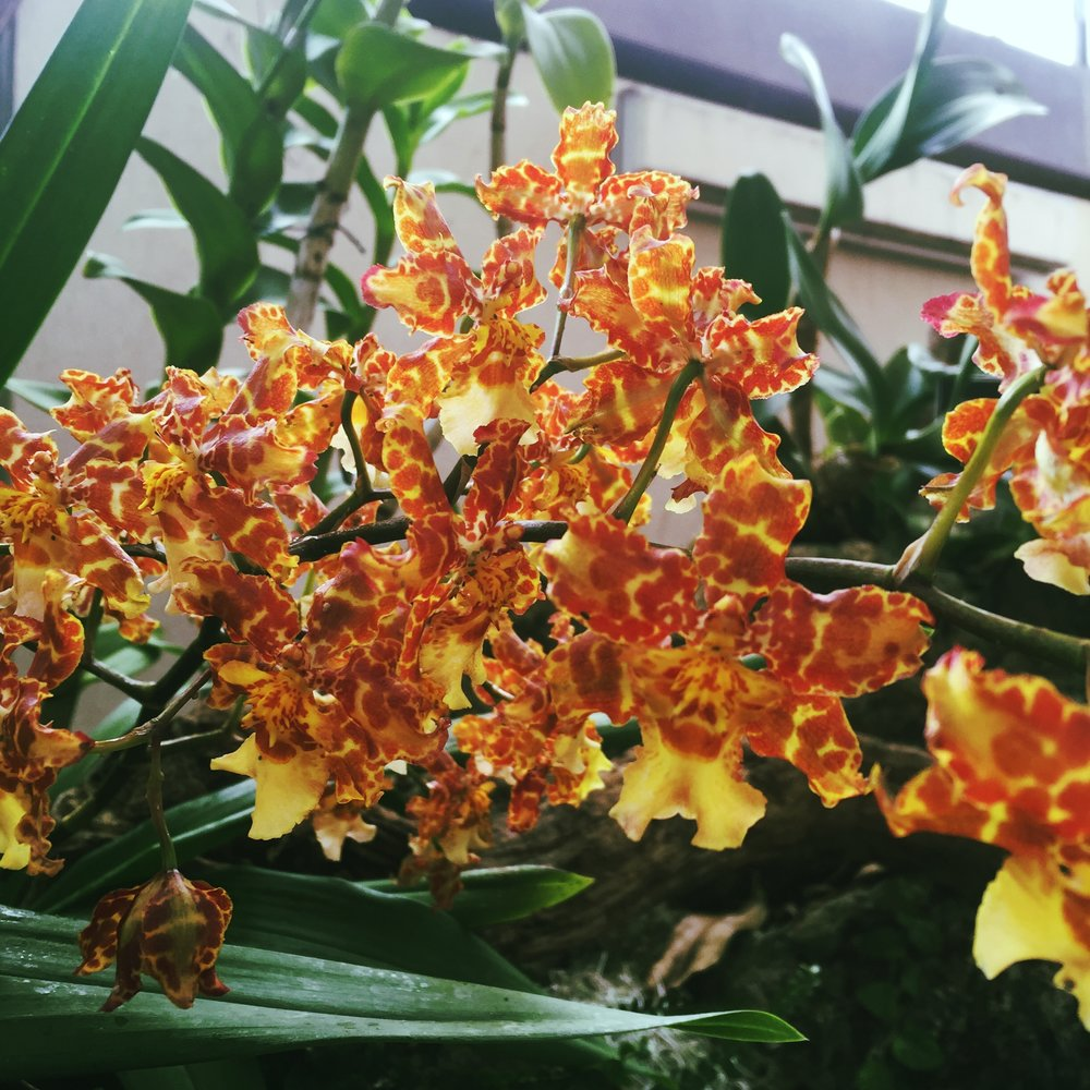Oncidium 'Pacific Passage' Handsome