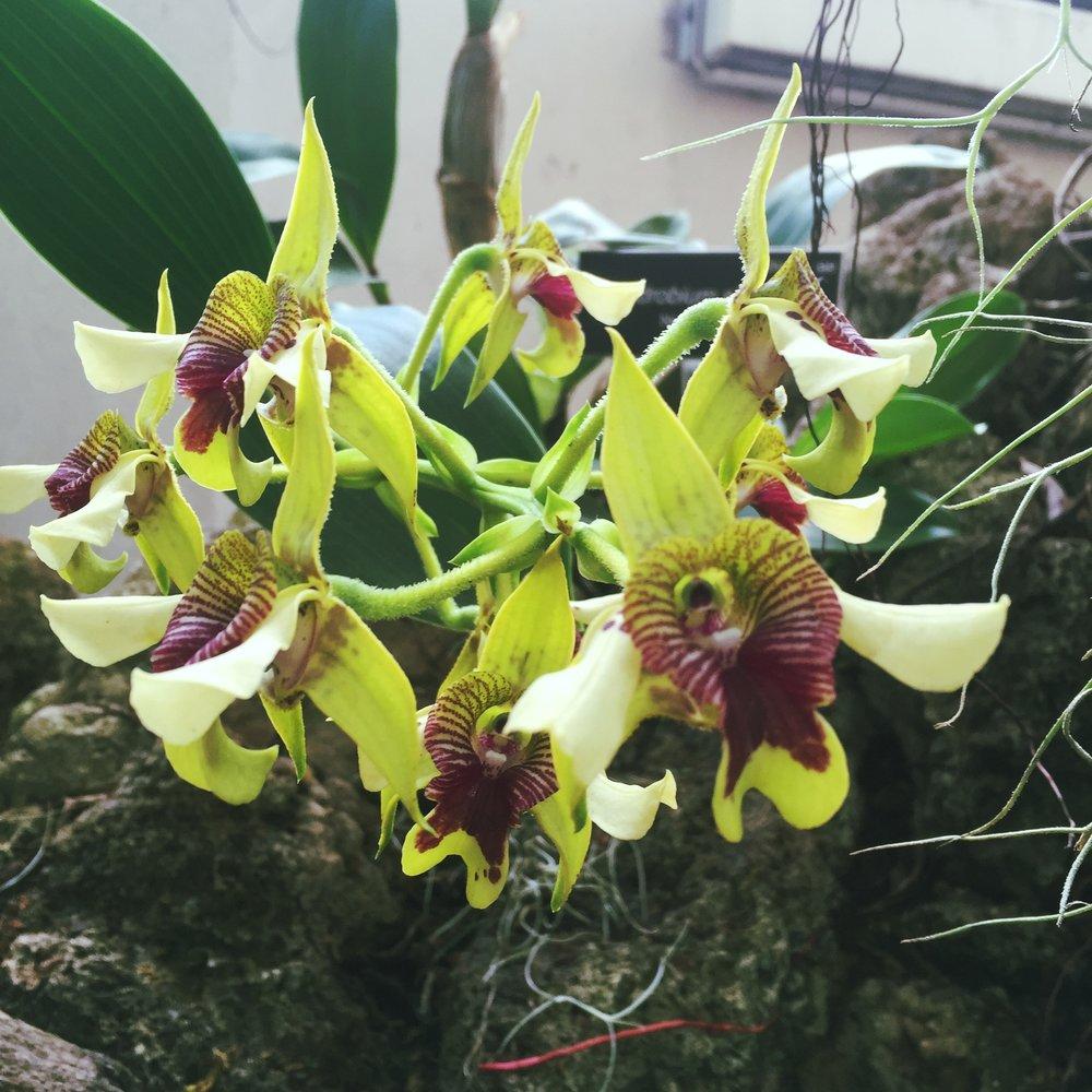 Dendrobium Shiraishii