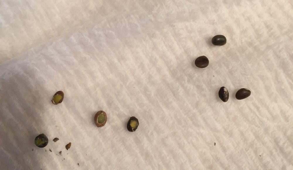 Lupine seeds: pre-chipped on the left and un-chipped on the right