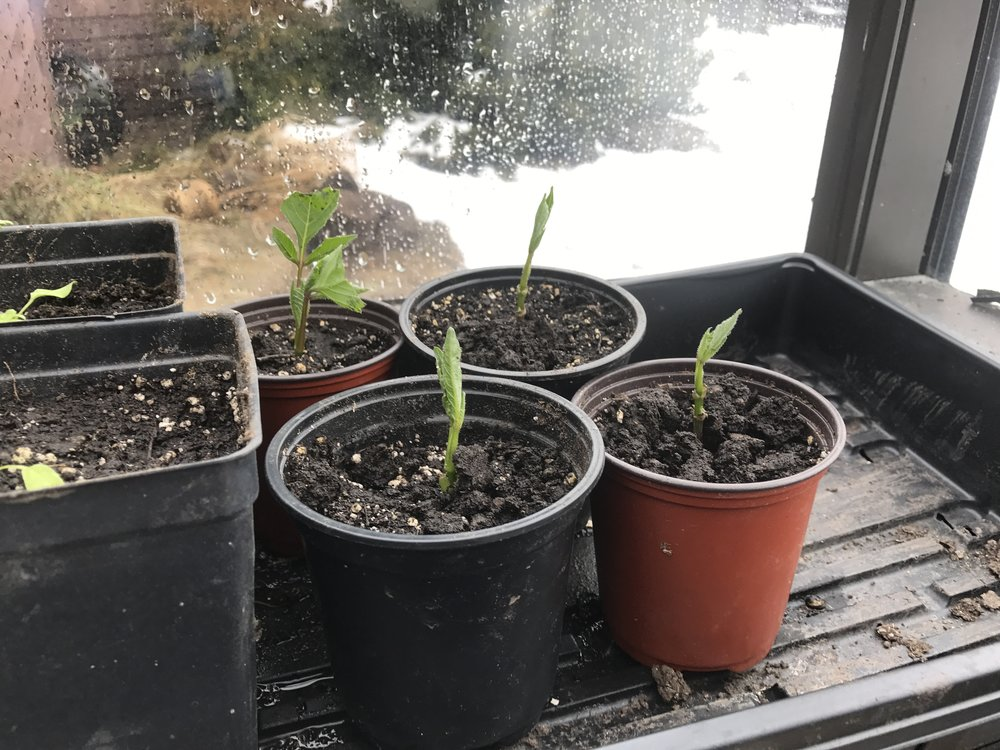The dahlia cuttings on day 6 are looking much healthier! They are standing up. The process seems to be working.
