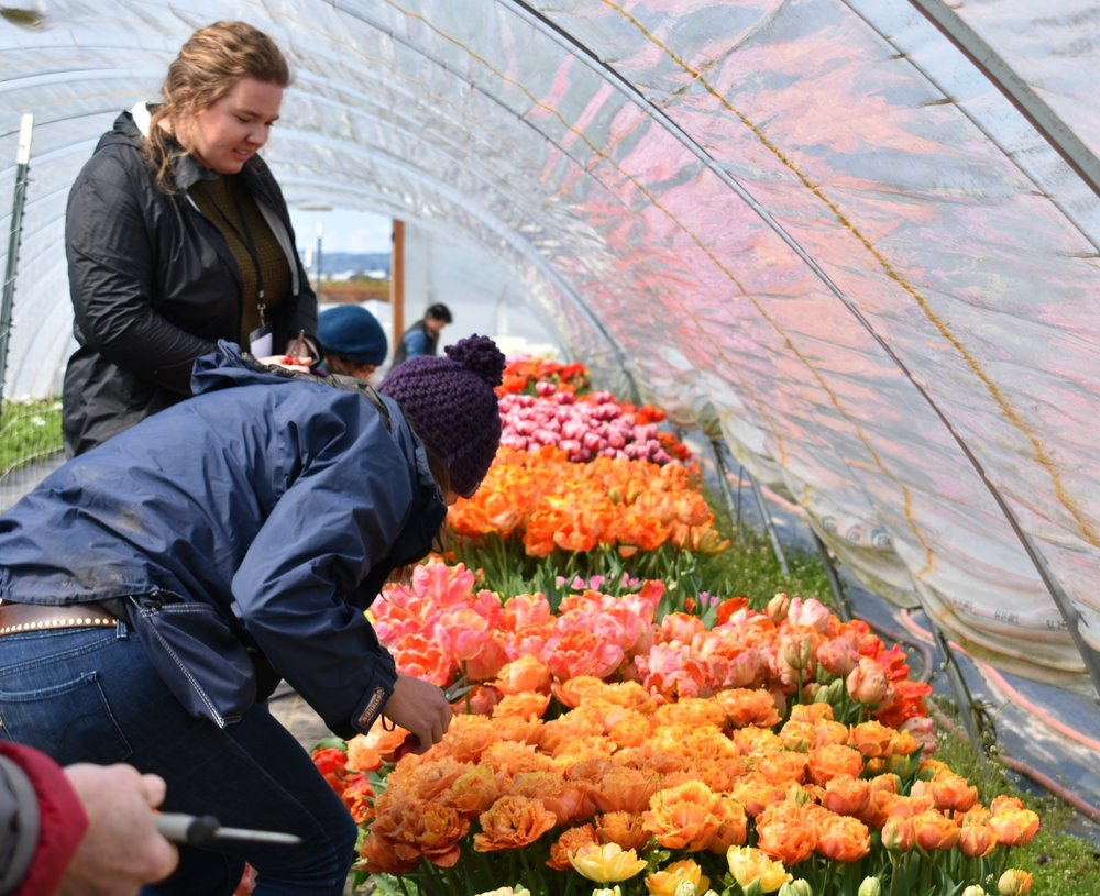 A harvest of tulips on the last day in preparation for making afternoon arrangements.