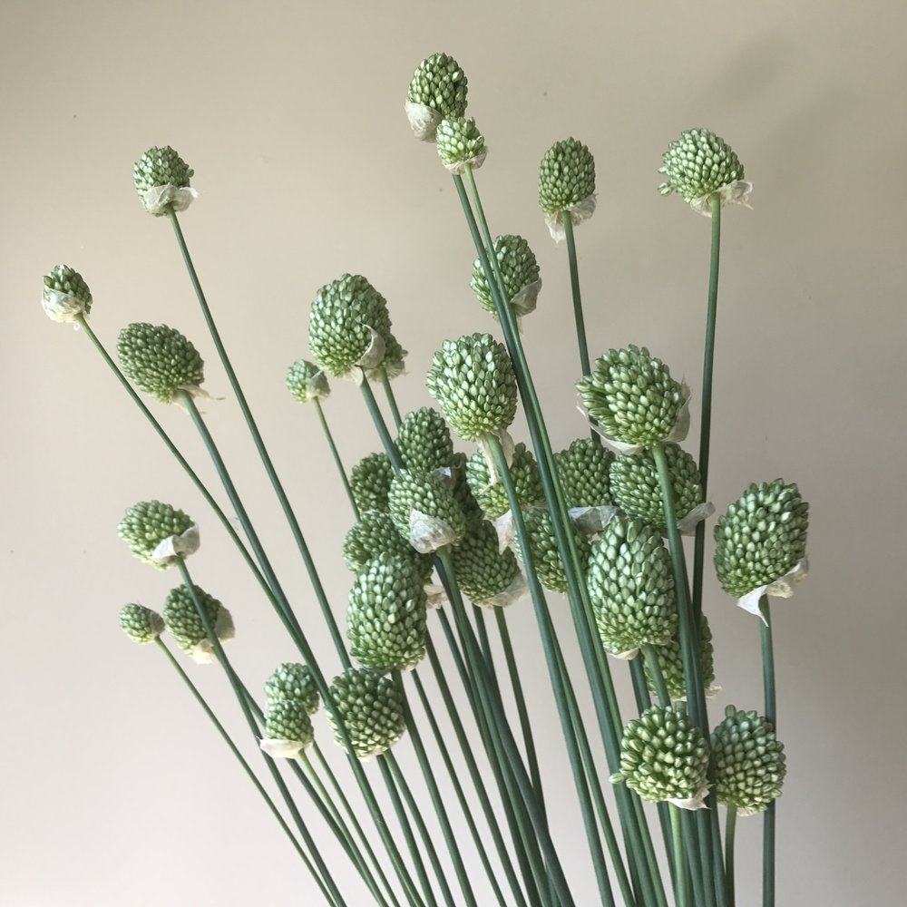 Allium Drumsticks (early harvest)