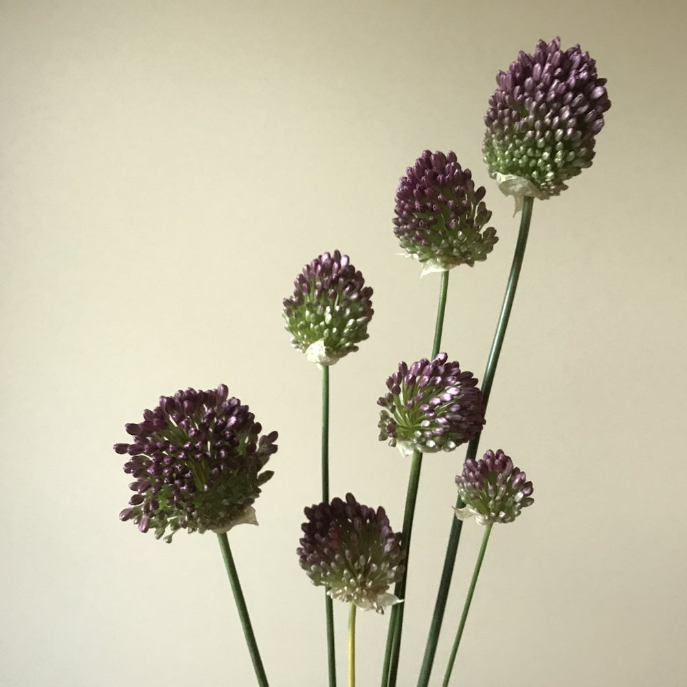 Allium Drumsticks (later harvest)