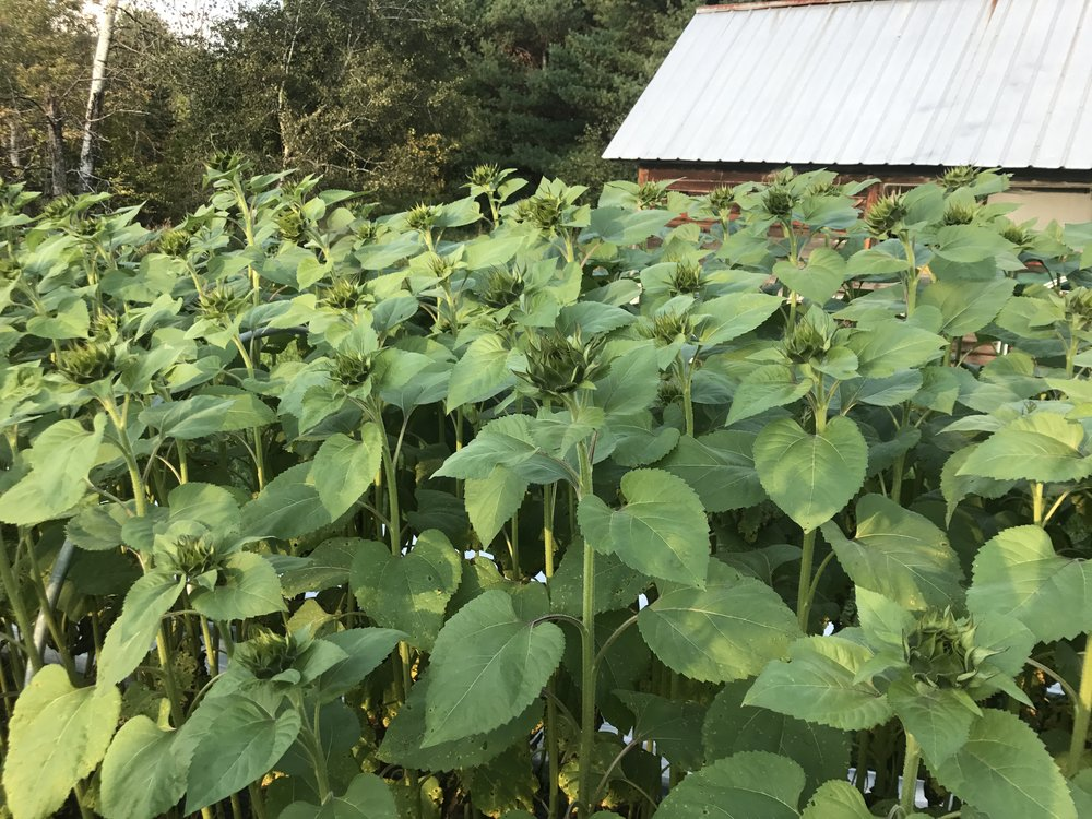 "A row of Procut sunflowers that were sown really late - July 31. The ""Sunflower Saver"" got them through to bloom time for late markets."