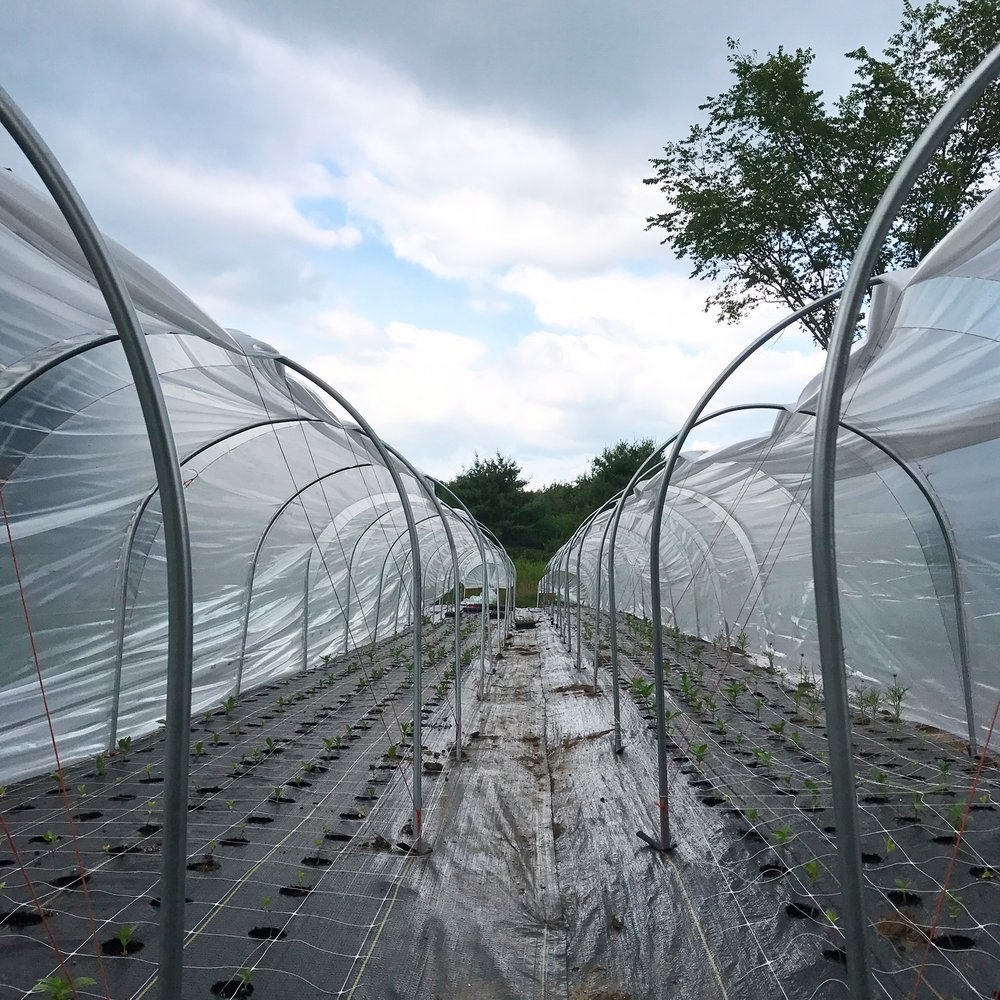 Two of the 12,85ft low tunnels on our farm. They aren't the most picturesque but they work. In the winter, I move them to shelter the perennials. We use orange bailing twine (available at Tractor Supply Stores or here locally at Ward Lumber)to tie down the plastic. Even just a slight wind can make that process tricky.