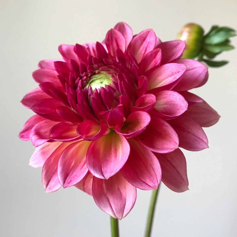 Dahlia production tips little farmhouse flowers dahlia production tips izmirmasajfo