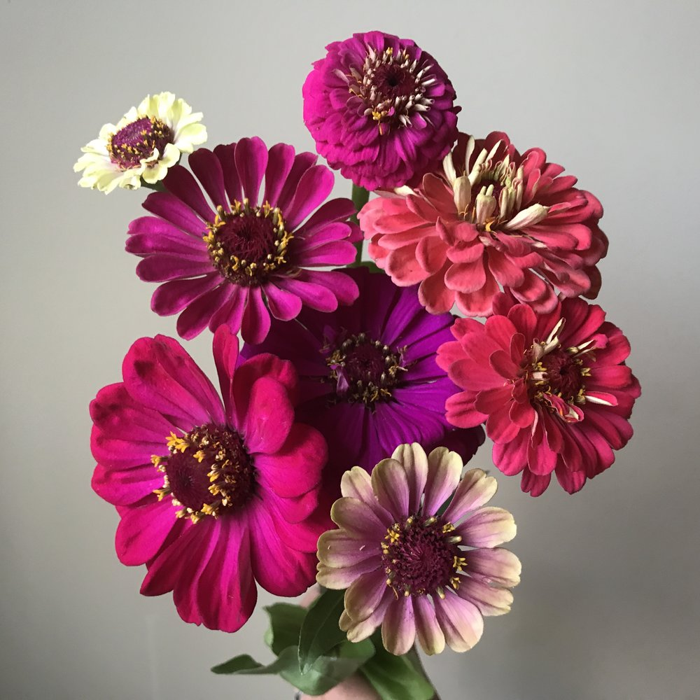 A little collection of bright zinnias