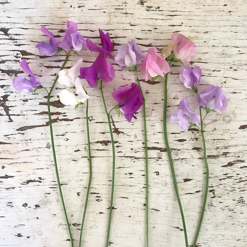 Early summer sweet peas