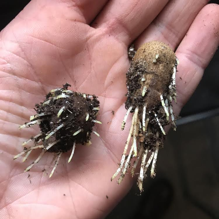 Anemone corms with rootlets on day 9 of pre-sprouting.