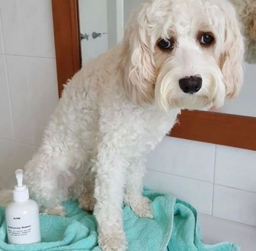 """We love this shampoo, yummy smell and leaves the coat so nourished."" - Mary & Laika the Cavoodle, Sydney."