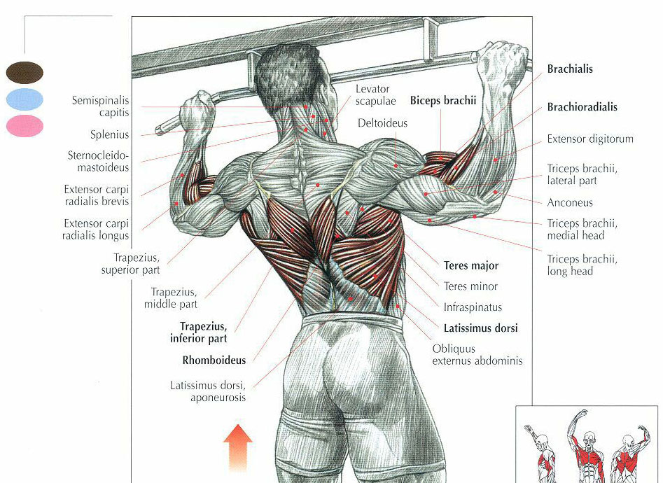 You probably don't speak Latin, but here's a diagram of all the muscles involved in a pull-up.