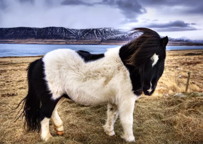 Horses in Iceland look like  this.