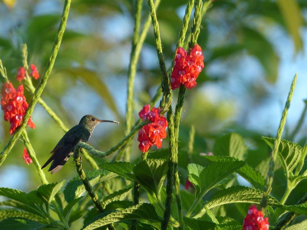 costa rica hummingbirds voyedge rx