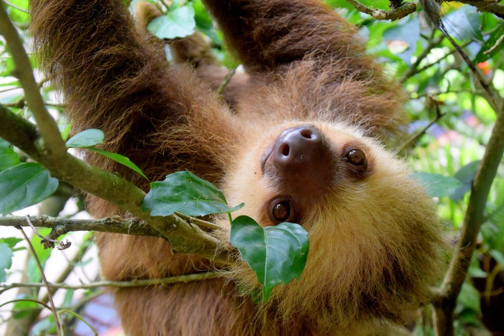 costa rica sloths one of the best places to see them