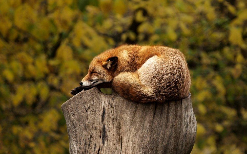 sleep fox