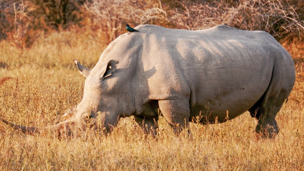 rhinos in africa poaching etc.