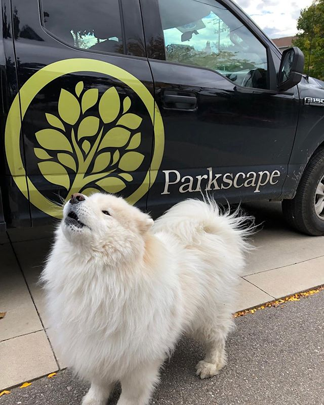 "@samdersoncooper_samoyed giving our team the seal of ""arroooval""! Got to see the infamous Ryder today while meeting with @tinaskittles_. . . . . . #landscapingthe6ix #landscaping #construction #toronto #dogstagram"