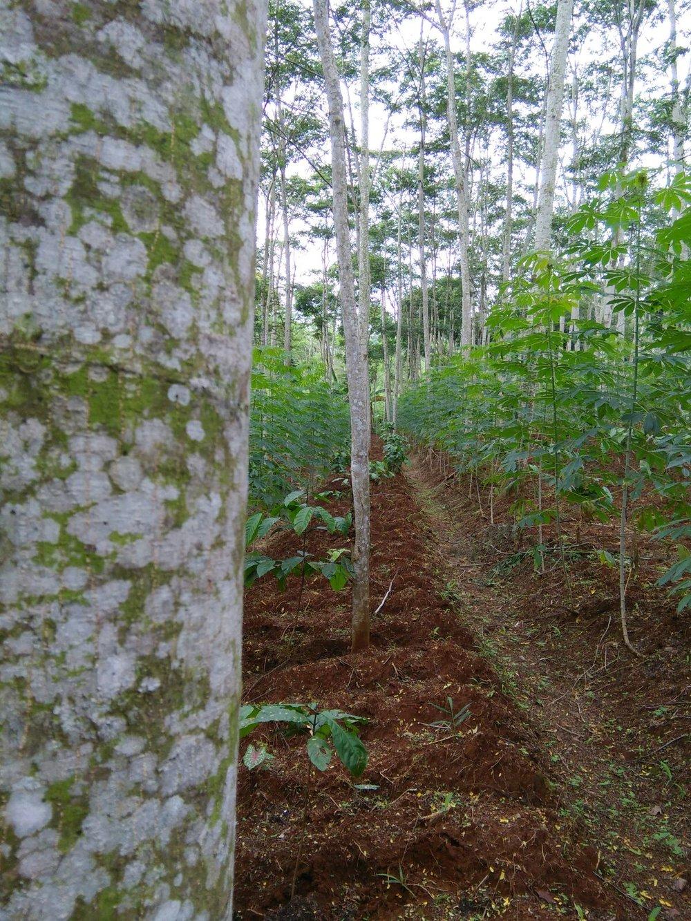 2016-10-21-Falcata plantation.jpeg