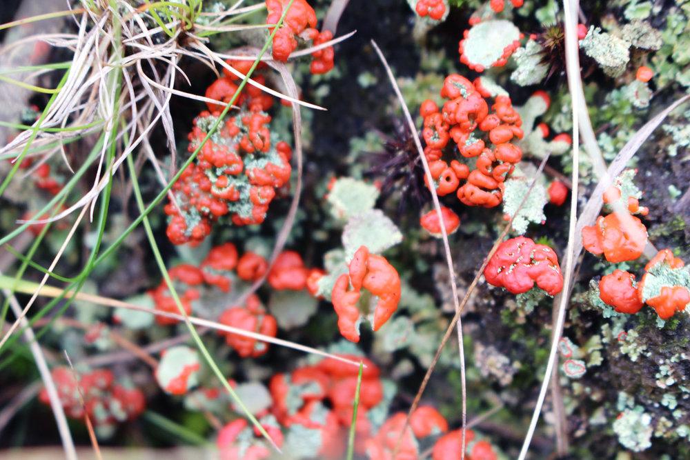 15 Red fungi.jpg
