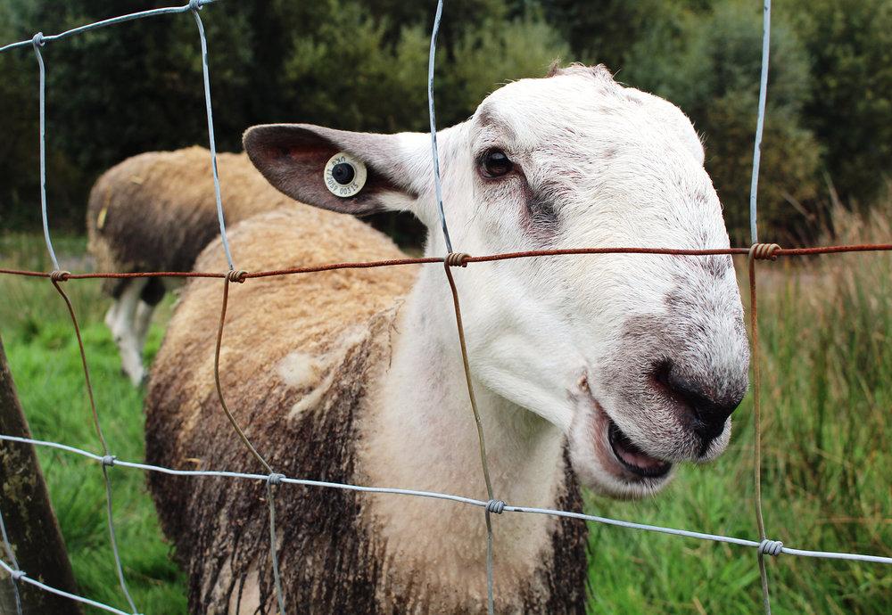 20 Smiling Sheep.jpg