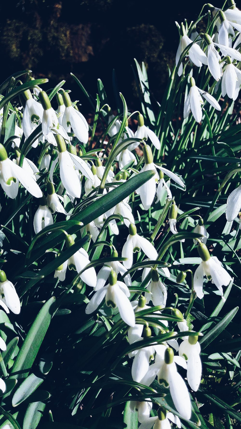 Snowdrops in the Peak District