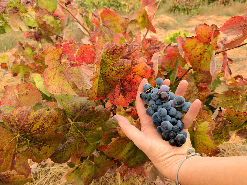 Picking Bobal Grapes