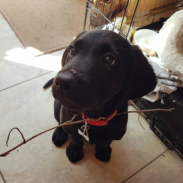 Summer when she was tiny. #blacklabrador #blacklabpuppy
