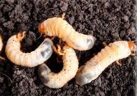 - Grubworms