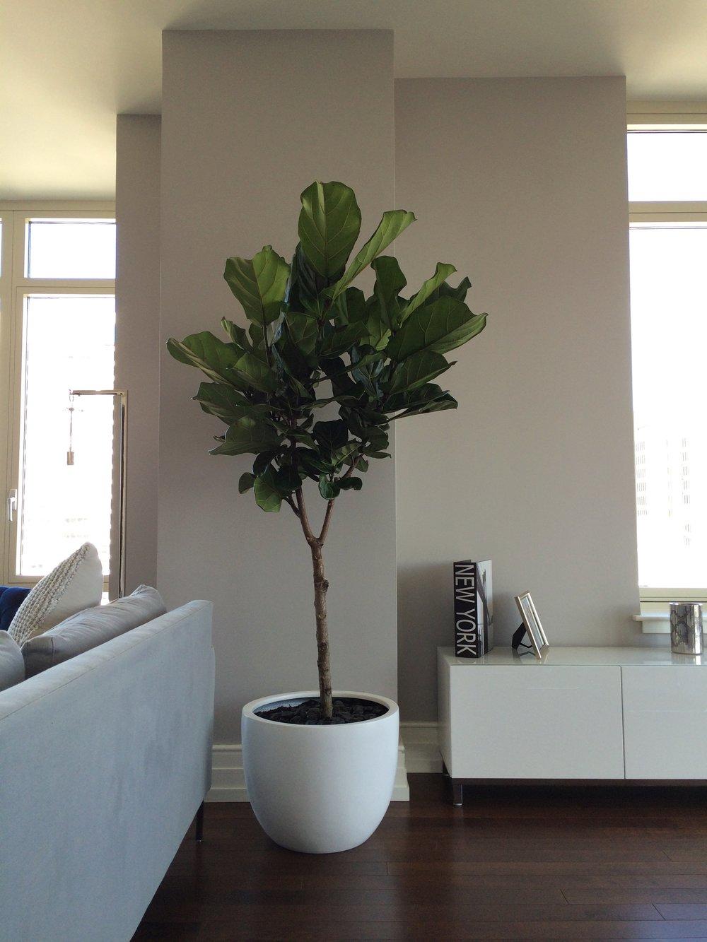 Fiddle Leaf Fig, Ficus Lyrata: U201cFiddler Under The Roofu201d
