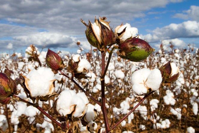 cotton-pod.jpg